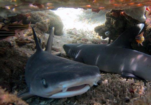 Lerne Fakten über Haie mit dem PADI Shark Aware Kurs