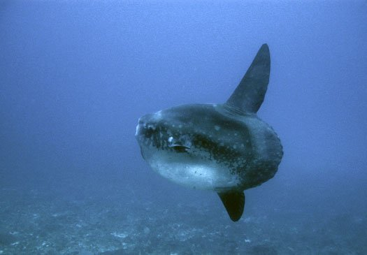 Gili Tepekong, in season you can find the occasional Mola Mola.