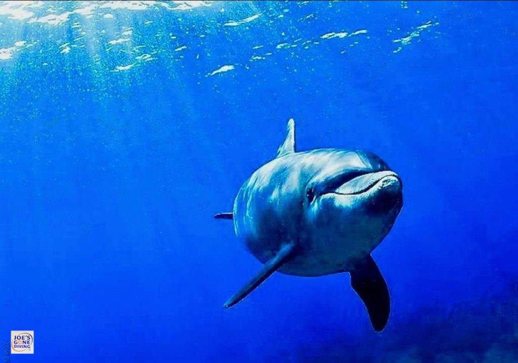 dolphin swimming in blue waters